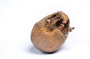 Three-banded Armadillo (Tolypeutes tricinctus) unrolling. Captive. Endemic to Brazil. 4 of 6.  -  Mark Bowler