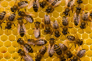 Honeybees (Apis mellifera) on honeycomb. Scotland, UK, May 2010. - Mark Bowler