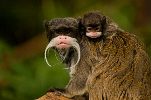 Portrait of an Emperor Tamarin (Saguinus imperator) mother with baby. Captive. Endemic to Peru.  -  Mark Bowler