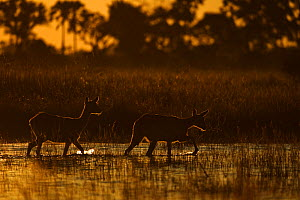 Ttwo Lechwe (Kobus leche) wading through wetlands at dusk, Okavango Delta, Botswana, April  -  Sergey Gorshkov