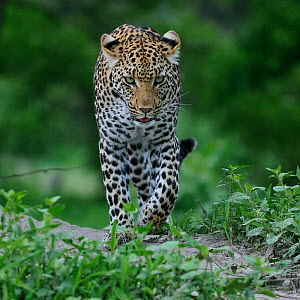 Leopard (Panthera pardus) walking towards camera, Okavango Delta, Botswana, January  -  Sergey Gorshkov