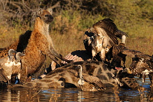 Spotted hyaenas (Crocuta crocuta) and White backed vultures feeding on Giraffe carcass, Okavango Delta, Botswana, June  -  Sergey Gorshkov