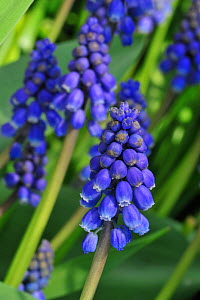 Common Grape Hyacinths (Muscari botryoides / Hyacinthus botryoides L.) in flower. Belgium, March 2011.  -  Philippe Clement