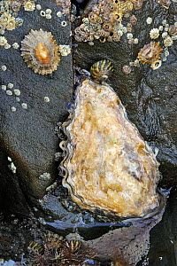 Oyster (Ostreidae), barnacles and limpets growing on rock exposed on beach at low tide. Brittany, France, September.  -  Philippe Clement