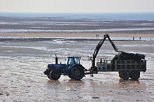 Tractor on beach returning with cartload full of cultivated oysters (Lophia folium) from oyster bank / oyster park. Gouville-sur-Mer, Normandy, France, October 2010.  -  Philippe Clement