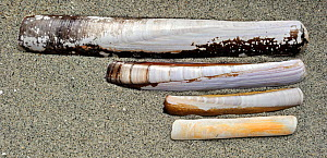 Collection of Solenidae shells: Pod razor / Common Razorfish (Ensis siliqua), Sword Razor (Ensis arcuatus), Atlantic Jackknife (Ensis directus), European Razor Clam / Grooved Razor Shell (Solen margin...  -  Philippe Clement