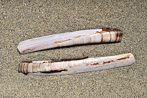 Razor shell / Razor clam / Razor fish / Sword razor (Ensis arcuatus / siquila) on beach along the North Sea coast, Normandy, France.  -  Philippe Clement