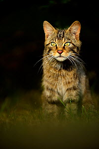 Scottish wildcat (Felis silvestris) adult, UK, captive - Andy Rouse