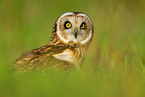 Short eared owl (Asio flammeus) in habitat, UK, controlled conditions, Captive  -  Andy Rouse
