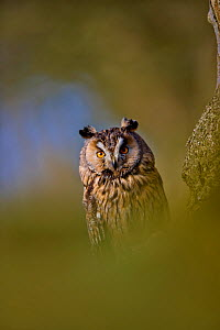Long Eared Owl (Asio otus)  UK, controlled conditions, April, Captive  -  Andy Rouse