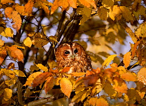 Tawny Owl (Strix aluco) adult perched in tree, autumn, UK, Captive  -  Andy Rouse