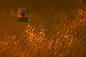 Barn owl (Tyto alba) in flight over long grass, hunting, Wiltshire, UK - Andy Rouse