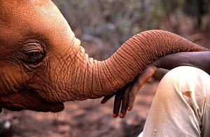 Orphan Elephant baby (Loxodonta africana) rests its trunk on the hand of a keeper; indicative of the bond formed with its new human family. David Sheldrick Wildlife Trust Nairobi Elephant Nursery, Ken...  -  Lisa Hoffner