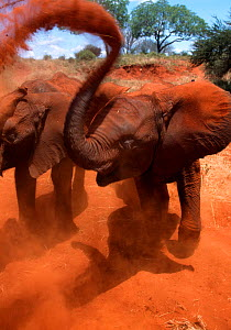 Orphan elephant (Loxodonta africana) flings red dirt during its daily dust bath. David Sheldrick Wildlife Trust Nairobi Elephant Nursery, Kenya, April 2007.  -  Lisa Hoffner