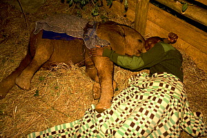 Keeper and orphaned Elephant (Loxodonta africana) bed down for the night together at the Nairobi nursery in Kenya. David Sheldrick Wildlife Trust Nairobi Elephant Nursery, Kenya, April 2007.  -  Lisa Hoffner