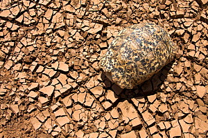 Leopard tortoise (Geochelone pardalis) seeks the only shade it can find, its shell, in the heat of the day on the dry riverbed of the Ewaso Nyiro. Kenya.   The worst drought (2008-2009) in more than a... - Lisa Hoffner