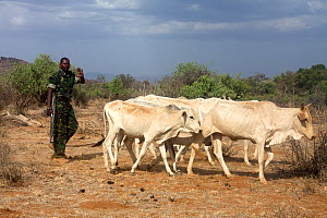 Kenya Wildlife Service ranger has confiscated these cattle (Bos indicus) from Samburu tribesman for grazing within Samburu National Park illegally. Kenya, August 2009.  -  Lisa Hoffner