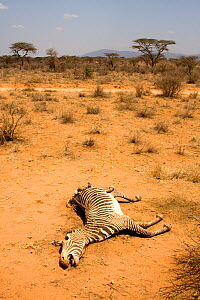 Dead Grevy's Zebra (Equus grevyi) most likely the result of the worst drought (2008-2009) in more than a decade in Northern Kenya. August 2009. - Lisa Hoffner