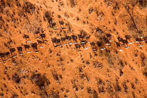Samburu livestock illegally entering Samburu National Park searching for food and water. The worst drought (2008-2009) in more than a decade has killed most of the Samburu tribemans' livestock and thr...  -  Lisa Hoffner