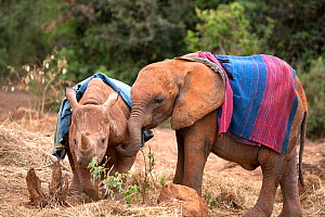 Orphan Rhinoceros (Ceratotherium simum) and Elephant (Loxodonta africana) with blankets on their backs. David Sheldrick Wildlife Trust Nairobi Elephant Nursery, Kenya, July 2010. - Lisa Hoffner