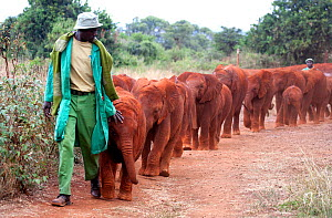 Orphan baby Elephants (Loxodonta africana) being taken for a walk by their keepers. David Sheldrick Wildlife Trust Nairobi Elephant Nursery, Kenya, July 2010.  -  Lisa Hoffner