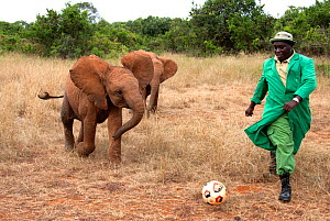 Orphan baby Elephants (Loxodonta africana) playing football with their keeper. David Sheldrick Wildlife Trust Nairobi Elephant Nursery, Kenya, July 2010. Model released. - Lisa Hoffner