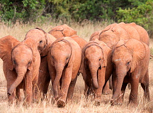 A group of rescued orphan baby Elephants (Loxodonta africana). David Sheldrick Wildlife Trust Nairobi Elephant Nursery, Kenya, July 2010. - Lisa Hoffner