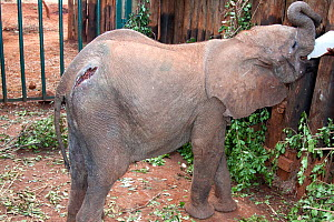 A baby orphan Elephant named Murka, feeding (Loxodonta africana) with spear wounds from poachers. David Sheldrick Wildlife Trust Nairobi Elephant Nursery, Kenya, July 2010.  -  Lisa Hoffner