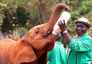 A young orphan Elephant (Loxodonta africana) being bottle fed milk by its keeper. David Sheldrick Wildlife Trust Nairobi Elephant Nursery, Kenya, July 2010. Model released. - Lisa Hoffner