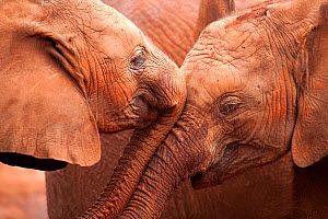 Two orphan baby Elephants (Loxodonta africana) being affectionate. David Sheldrick Wildlife Trust Nairobi Elephant Nursery, Kenya, July 2010.  -  Lisa Hoffner