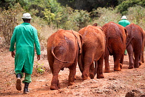 Baby orphan  Elephants (Loxodonta africana) being taken for a walk by their keepers. David Sheldrick Wildlife Trust Nairobi Elephant Nursery, Kenya, July 2010.  -  Lisa Hoffner