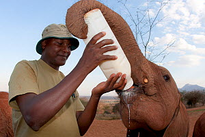 A  baby Elephant (Loxodonta africana) being bottle fed milk by its keeper. David Sheldrick Wildlife Trust Nairobi Elephant Nursery, Kenya, August 2010.  -  Lisa Hoffner