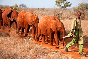 Baby Elephants (Loxodonta africana) being taken for a walk by their keeper. David Sheldrick Wildlife Trust Nairobi Elephant Nursery, Kenya, July 2010.  -  Lisa Hoffner