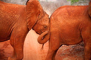 A baby orphan Elephant (Loxodonta africana) leaning against the rump of its friend. David Sheldrick Wildlife Trust Nairobi Elephant Nursery, Kenya, August 2010.  -  Lisa Hoffner