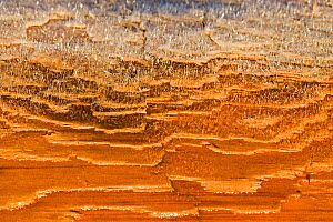 Detail of frost on Western Red Cedar (Thuja plicata). Vancouver Island, Canada, March. - Matthew Maran
