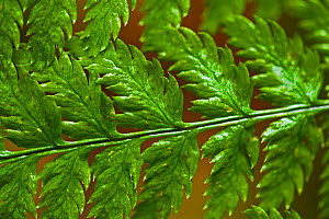 Detail of a Lady Fern (Athyrium filix-femina) frond. West coast of Vancouver Island, Canada, March. - Matthew Maran