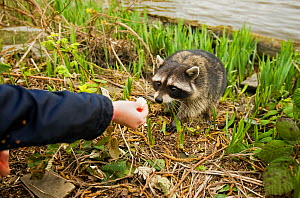 Common Racoon (Procyon lotor) being fed. Stanley Park, Vancouver Island, Canada.  -  Matthew Maran