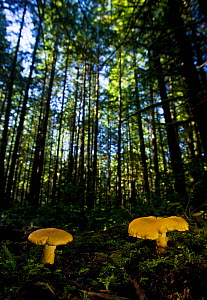 Chanterelle Mushroom (Cantharellus cibarius) growing in their forest habitat. West coast of Vancouver Island, Canada, September. - Matthew Maran