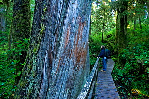 Hiker pausing on a forest trail by the trunk of an enormous Western Red Cedar (Thuja plicata). Pacific Rim National Park Reserve, Vancouver Island, Canada, October.  -  Matthew Maran