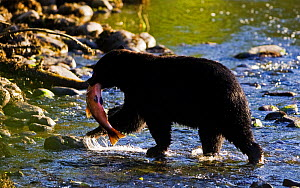 Black Bear (Ursus americanus) with a Chinook Salmon (Oncorhynchus tshawytscha) in its mouth. West coast of Vancouver Island, Canada, October.  -  Matthew Maran