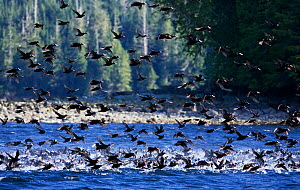 A flock of Surf Scoters (Melanitta perspicillata) taking off from water. West coast of Vancouver Island, Canada, March. - Matthew Maran