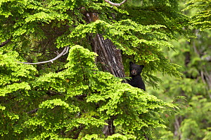 Black Bear (Ursus americanus) cub in tree branches. Cubs climb trees to hide and protect themselves while their mother forages for food.Clayoquot Sound, Vancouver Island, Canada, June. - Matthew Maran
