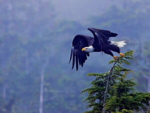 Bald Eagle (Haliaeetus leucocephalus) taking flight from a tree top. Clayoquot Sound, Vancouver Island, Canada, September. - Matthew Maran
