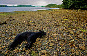 Dead Black Bear (Ursus americanus) on a beach. This individual was shot for regularly feeding on nearby fish plant garbage. Ucluelet Inlet, Barkley Sound, Vancouver Island, Canada, August 2008. - Matthew Maran