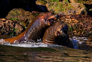 California Sea Lions (Zalophus californianus) fighting in shallow waters. Barkley Sound, Vancouver Island, Canada, September. - Matthew Maran