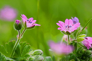 Dove's-foot Crane's-bill (Geranium molle) in flower. Sussex, UK, May. - Simon Colmer