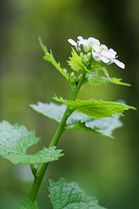 Garlic Mustard (Alliaria petiolata) in flower. Primary foodplant of the Green-veined White butterfly (Pieris napi) and Orange-tip butterfly (Anthocharis cardamines) and the secondary foodplant of the... - Simon Colmer