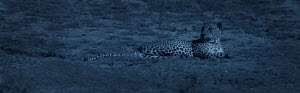 Leopard (Panthera pardus) resting at night. Yala National Park, Sri Lanka. Image taken with 'starlight camera' using no artificial light, on location for National Geographic Nightstalkers film. *THIS...  -  Martin Dohrn