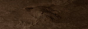 Leopard (Panthera pardus) resting at night. Yala National Park, Sri Lanka. Image taken with infared camera using no artificial light, on location for National Geographic Nightstalkers film. *THIS IMAG...  -  Martin Dohrn