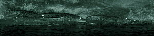 Four nile crocodiles (Crocodylus niloticus) resting at night on the banks of the Mara River, Masai Mara, Kenya. Image taken with infared camera, without any visible artificial light, on location for N... - Martin Dohrn